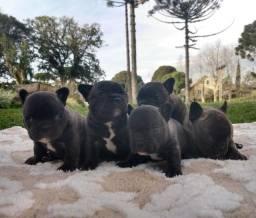 Bulldog Francês lindos meninas e meninos