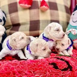 Filhotes de poodles número 2