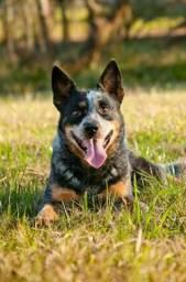 Vendo um cachorro raça burriler