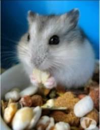 Hamster Chinês Itabirito Promoção