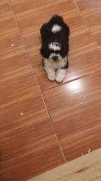 Lindo filhote de lhasa apso
