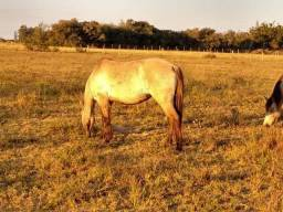 Égua crioula gateada