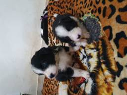 Vendo 3 macho de Boder Collie