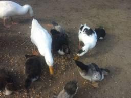 Marreco , pato e ganso