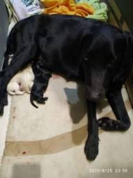 Filhotes de labrador (pais no local)