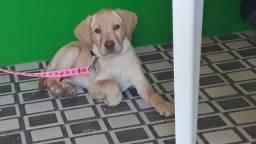 Labrador Fêmea.