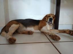 Beagle perdido