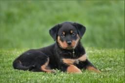 Rottweiler machos e fêmeas disponíveis com garantias!