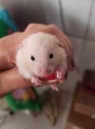 Hamster macho