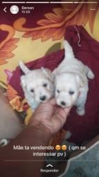 Vendo poodle 2 fêmeas