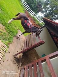 Vendo mula de patrão