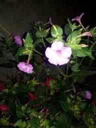 Flores maravilha  jabala