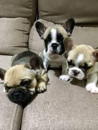 Filhotes bulldog