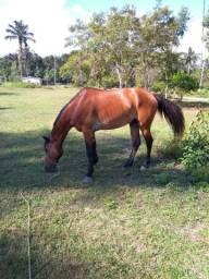 Cavalo mansso