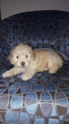 Vendo cachorro poodle Toy