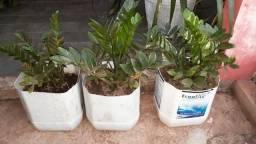 Zamioculca planta