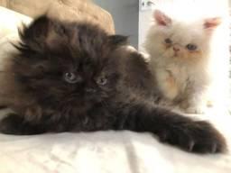 Lindos Filhotes de Gato Persa (Super Promoção)