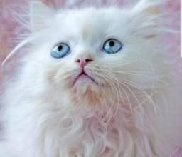 Gatinho Persa filhote branco neve