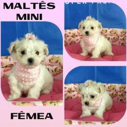 Maltês Mini Fêmea # Microchipada # Parcelamos em até 12X