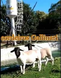 Borregas Dorper, Ovelhas, Reprodutores Dorper e Filhotes de Pastor Maremano Abruzês