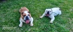 Bulldog Inglês Aceitamos cartão (Juros por conta do comprador)