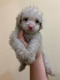 Poodle Mini macho