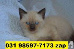 Gatil em BH Filhotes de Gatos Siamês Persa ou Angora