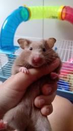 Vendo hamster sírio fêmea
