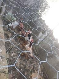 5 galinhas caipira índia e um frango gigante de 9 meses