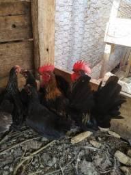 Vendo casal de galinze nagasaki