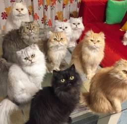 Filhotes de Gato Persa (macho e fêmea), Envio para todo Brasil