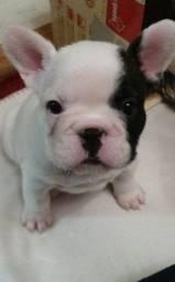 Bulldog Francês - Filhotes maravilhosos disponiveis