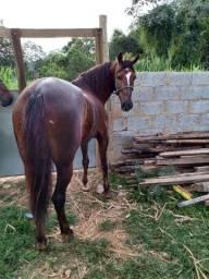 Cavalo castrado de prova registrado macha batida