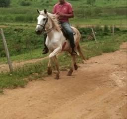 Égua Mineira ( marcha picada ) mansa
