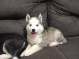 filhotes de Husky Siberiano disponíveis