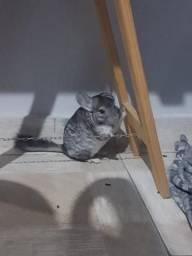 Chinchila Standard - Fêmea - 6 meses