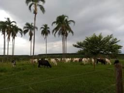 Fazenda 70 alqueires - Aparecida do Taboado-MS - F080819
