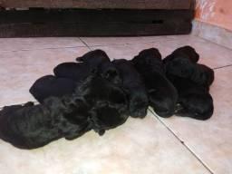 Cães da raça Labrador.