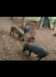 Doando esse porco preto