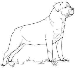 Rottweiler macho disponível para cruzar.