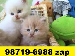 Gatil em BH Especializado em Filhotes de gatos Persa Siamês ou Angora