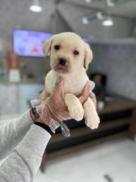 Lindos filhotes de Labrador - Garantias de Saúde/Padrão da Raça