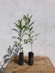 Título do anúncio: Plantas e Mudas