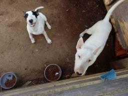 Fêmea de Bull terrier, procura macho para cruza