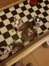 Husky Siberiano - Filhotinhos maravilhosos disponiveis