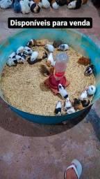 Venda de Porquinhos da Índia