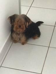 Yorkshire Terrier Macho 5 meses