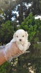 Maltês, filhotes com garantias em contrato e pedigree (opcional) 7127
