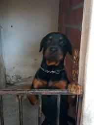 Rottweiler procura uma namorada
