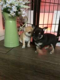 Chihuahua - Filhotinhos maravilhosos e super pequeninos disponiveis